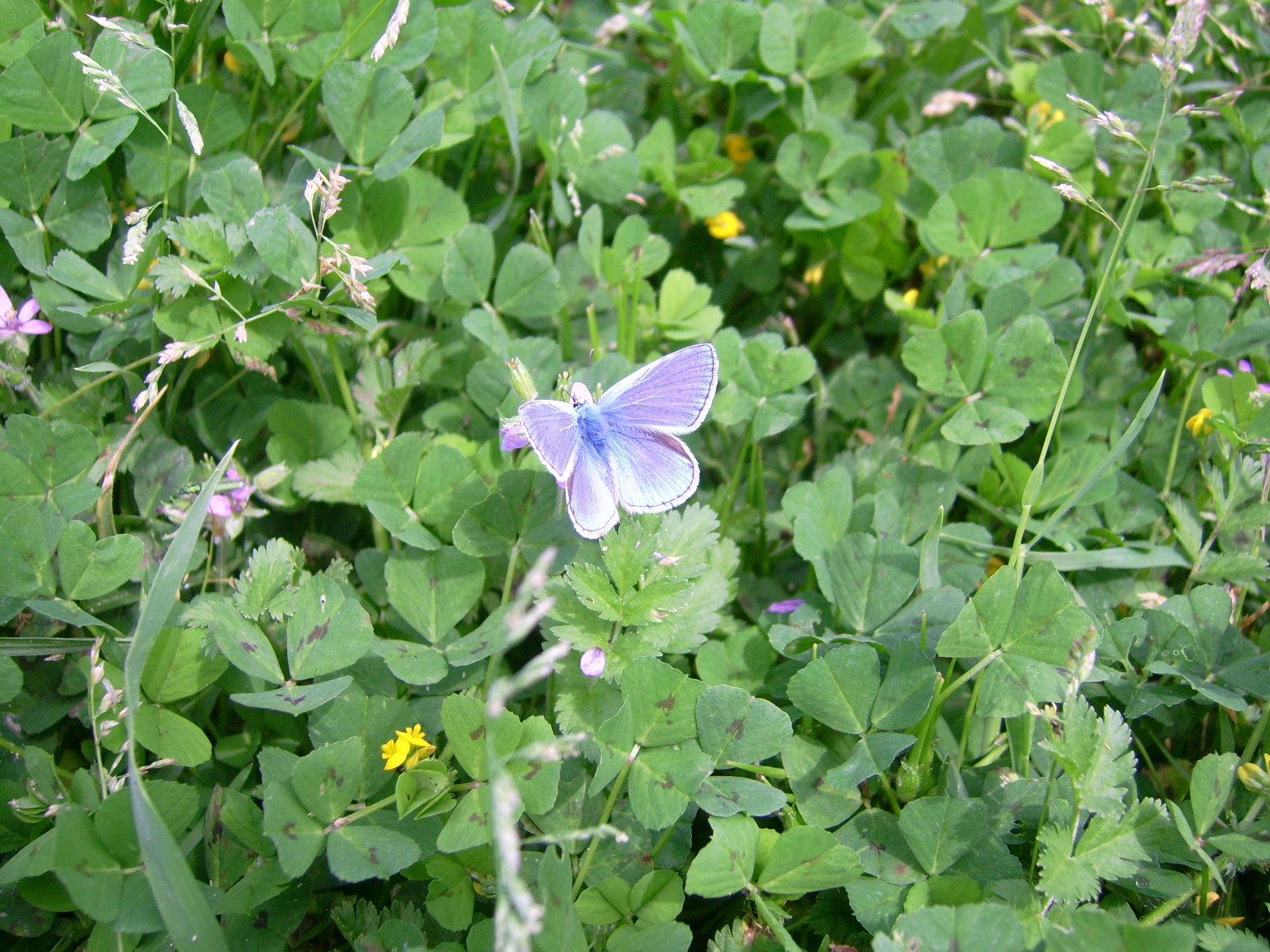Butterfly and clovers