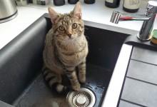 22 Janvier: qui a dit que les chats n'aime pas l'eau?