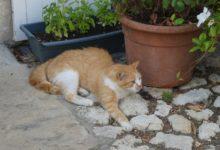 07 Août: le chat roux de Charroux