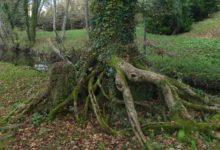 13 Novembre : arbre de sorcière