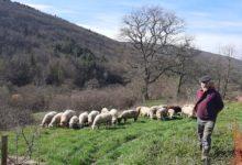 12 Février: troupeau et berger
