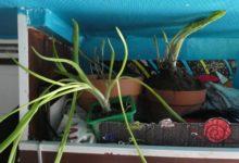 16 Mars : pousses tentaculaires