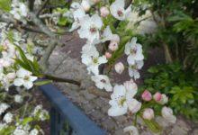 23 Mars : bourgeons