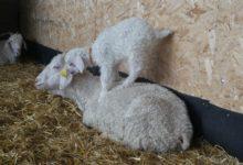 05 Avril : chèvreau taquin