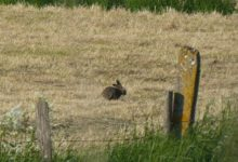 04 Juin : voisin à longues oreilles